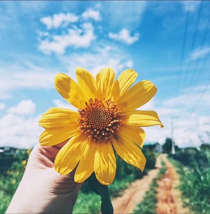 Hoa dã quỳ, một trong ba loài hoa dại rực rỡ của Đà Lạt tháng 11