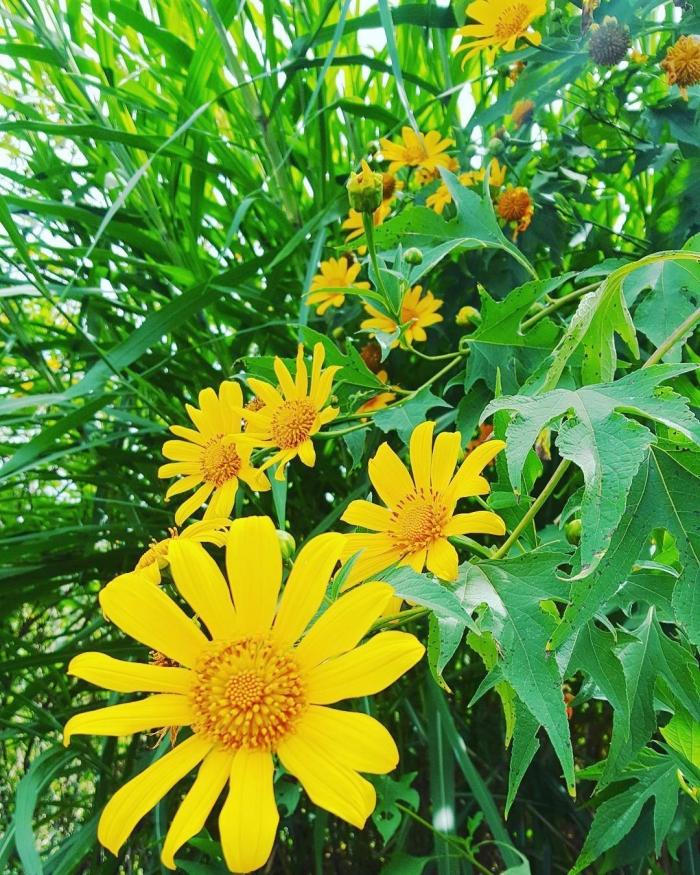Hoa dã quỳ rực rỡ thu hút nhiều bạn trẻ về với Đà Lạt tháng 11