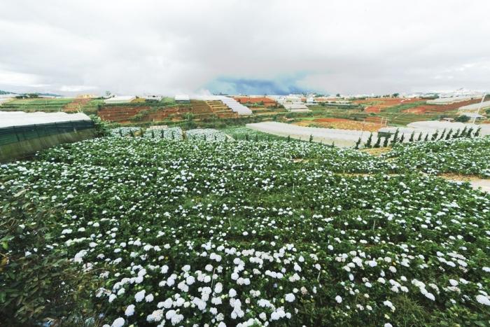 Cánh đồng hoa cẩm tú cầu tại trại Mát Đà Lạt