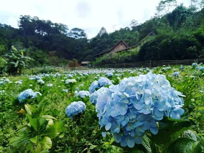 Những bông hoa cẩm tú cầu trong làng đất sét Đà Lạt