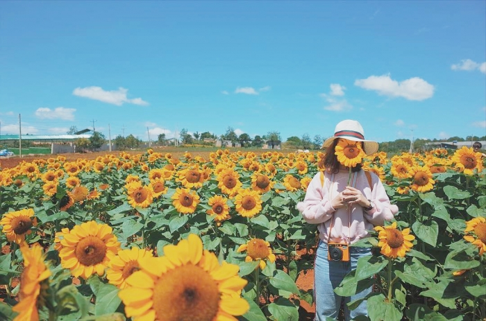 Chụp hình tại cánh đồng hoa hướng dương Đà Lạt