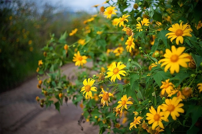 Sắc vàng hoa dã quỳ như tô điểm cho thu Đà Lạt thêm sinh động